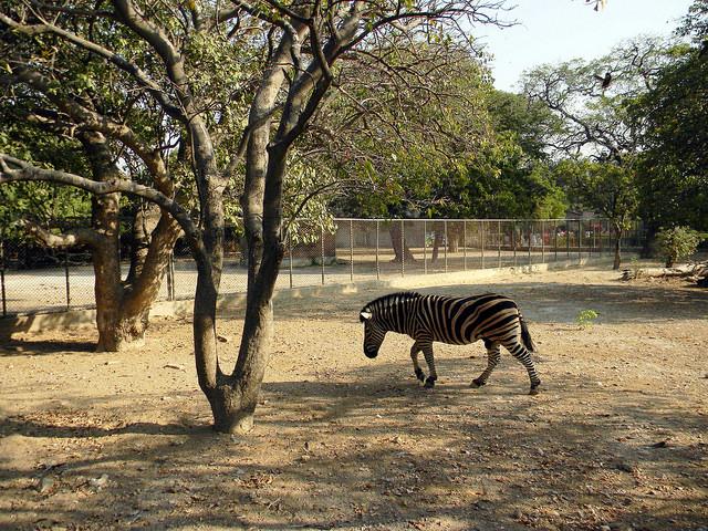 karachi zebra